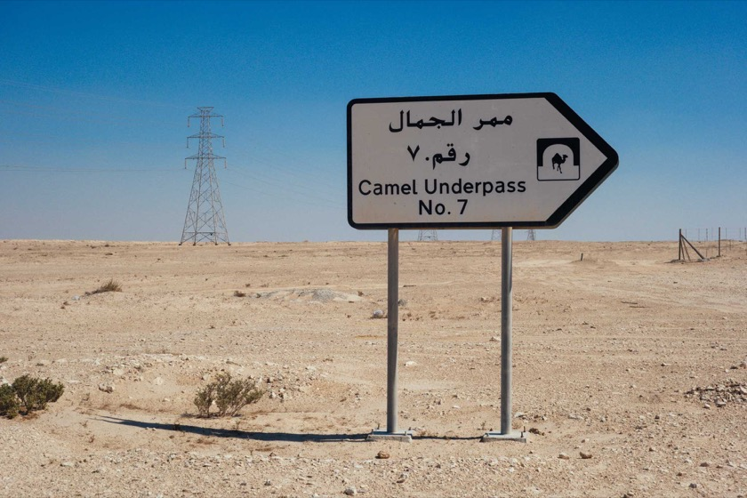 How did the camel cross the road?