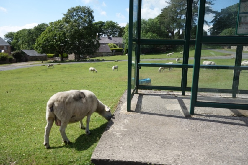 In Wales, there are even sheep at the bus stops.